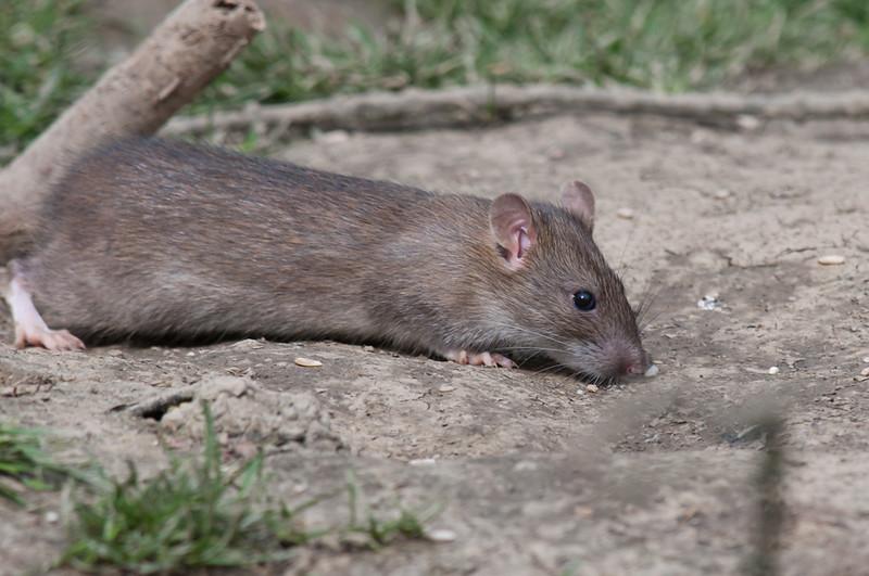 Brown Rat, Rattus norvegicus 6518