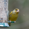 Greenfinch, Carduelis chloris 6581