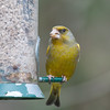 Greenfinch, Carduelis chloris 6601
