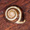 White-lipped Snail, Cepaea hortensis 5815