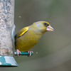 Greenfinch, Carduelis chloris 6567