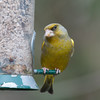 Greenfinch, Carduelis chloris 6592