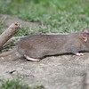 Brown Rat, Rattus norvegicus 6534