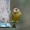 Greenfinch, Carduelis chloris 6588