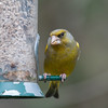 Greenfinch, Carduelis chloris 6576