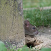 Brown Rat, Rattus norvegicus 6522