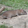Brown Rat, Rattus norvegicus 6532