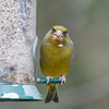 Greenfinch, Carduelis chloris 6599
