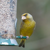 Greenfinch, Carduelis chloris 6597
