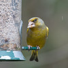 Greenfinch, Carduelis chloris 6595