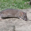 Brown Rat, Rattus norvegicus 6538