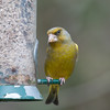 Greenfinch, Carduelis chloris 6596