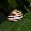 White-lipped Snail, Cepaea hortensis 6696