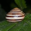 White-lipped Snail, Cepaea hortensis 6695