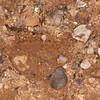 Muntjac Deer tracks, Muntiacus reevesi 6580