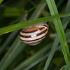 White-lipped Snail, Cepaea hortensis 6654