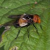 Great Pied Hoverfly, Volucella pellucens 6660