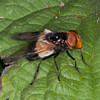Great Pied Hoverfly, Volucella pellucens 6661