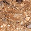 Muntjac Deer tracks, Muntiacus reevesi 6577