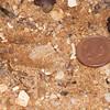 Muntjac Deer tracks, Muntiacus reevesi 6578