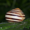 White-lipped Snail, Cepaea hortensis 6697