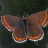 Brown Argus, Aricia agestis 9518