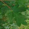 Field Maple, Acer campestre 311