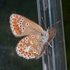 Brown Argus, Aricia agestis 9524