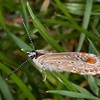 Brown Argus, Aricia agestis 9527