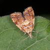 Yellow-spot Twist, Pseudargyrotoza conwagana 3513