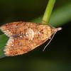 Yellow-spot Twist, Pseudargyrotoza conwagana 3758