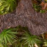 Black Tooth, Phellodon niger 7190