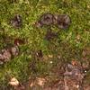 Black Tooth, Phellodon niger 7208