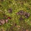 Black Tooth, Phellodon niger 7207