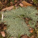 Lichen, Usnea species 7175