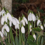 Snowdrop, Galanthus species 7111