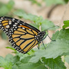 Danaus plexippus, Monarch 589