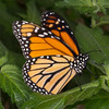 Danaus plexippus, Monarch 9544