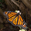 Danaus plexippus, Monarch 9624