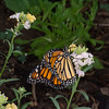 Danaus plexippus, Monarch 9622