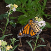 Danaus plexippus, Monarch 9621