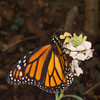 Danaus plexippus, Monarch 9623