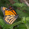 Danaus plexippus, Monarch 9545