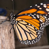 Danaus plexippus, Monarch 9506
