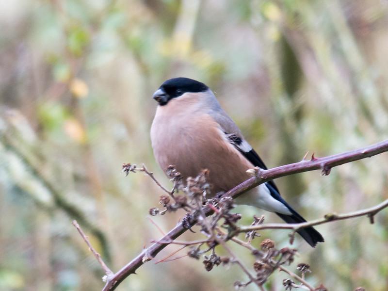 Bullfinch ♀, Pyrrhula pyrrhula 6284