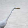 Great White Egret, Ardea alba 4655