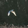 Great White Egret, Ardea alba 4192