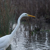 Great White Egret, Ardea alba 4638