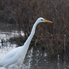 Great White Egret, Ardea alba 4633