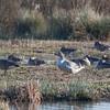 Greylag Goose, Anser anser 4072